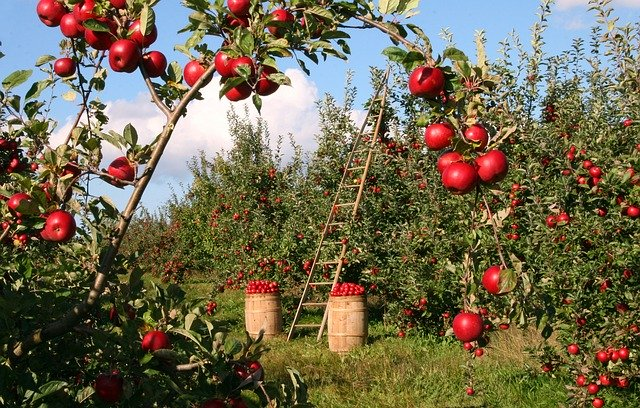 En nutrithérapie, la pectine de pomme est utilisée comme chélateur de la radioactivité. C'est un détoxinant qui envoit les éléments radioactifs vers les émonctoires pour élimination.